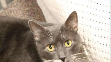Kohl is a adult domestic short hair cat