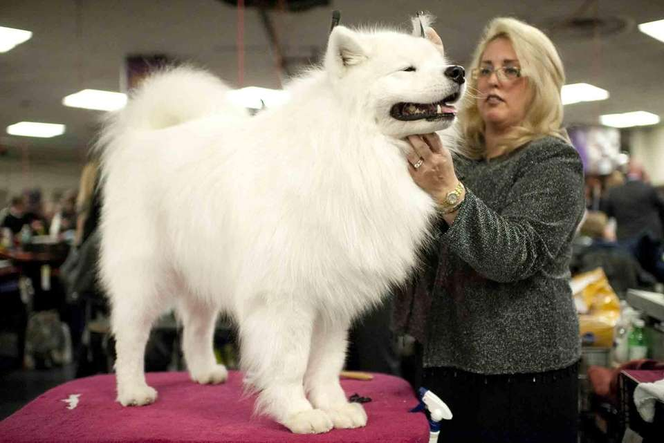 Merrilee Dantonio, of Massapequa, grooms Philo, her Samoyed,