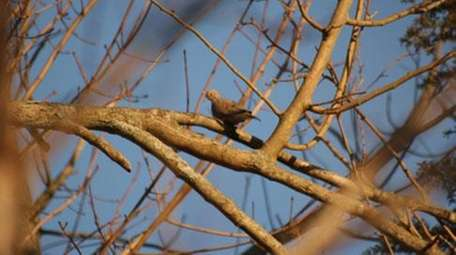 A morning dove is perched on a tree