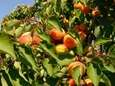 Consume tender apricots within a couple of days