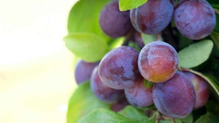 Homegrown plums will keep in the refrigerator for