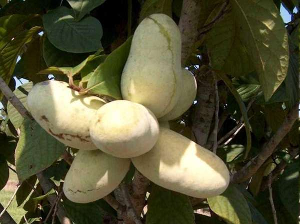 Pawpaw fruit can be used in place of
