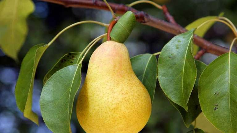 Pears will keep for a month or more