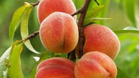 Peaches can be canned or frozen, or kept