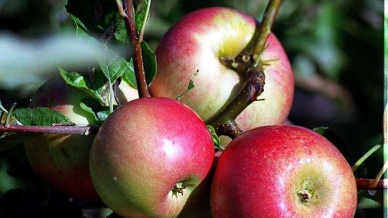 Apples have a long storage lift if harvested