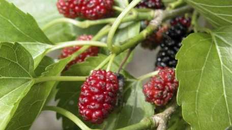 Mulberries can be messy, but oh so good.