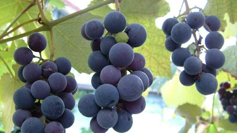 Grapes can be grown on trellises in the