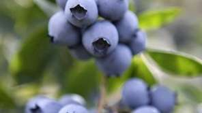 Growing blueberries at home is a rewarding endeavor