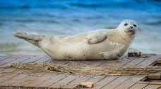 A harbor seal at the Jones Beach Fishing