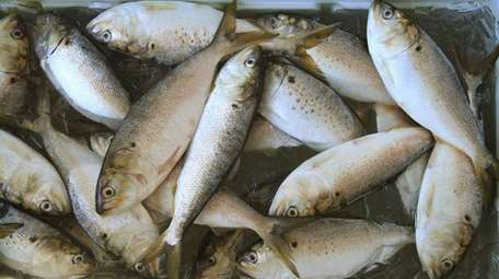An ice chest full of adult bunker fish,