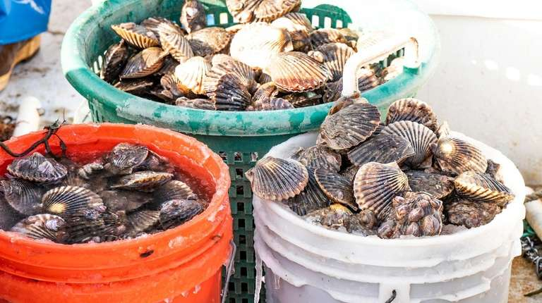 Buckets of scallops harvested by Anthony Rispoli in