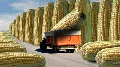 Biotech corn has been approved for ethanol production