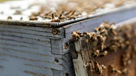 Buckfast honey bees gather on a beehive in