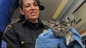 SPCA sergeant, Regina Benfante, holds a chinchilla, inside