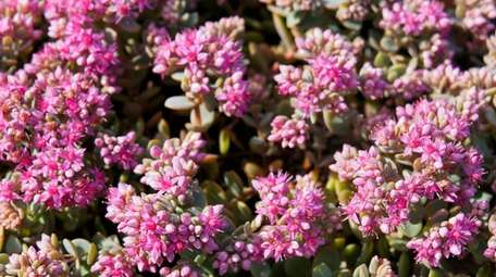 Sedum spurium cultivars are well-suited for cemetery plantings,