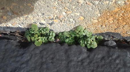 Bittercress growing between pavement cracks in Wantagh.