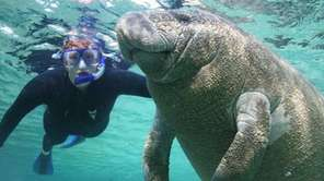 A diver swims beside a manatee in Crystal