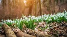 Snowdrops flowering with autumn leaves on the soil.