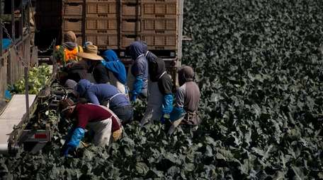 A group of farm workers pick broccoli in
