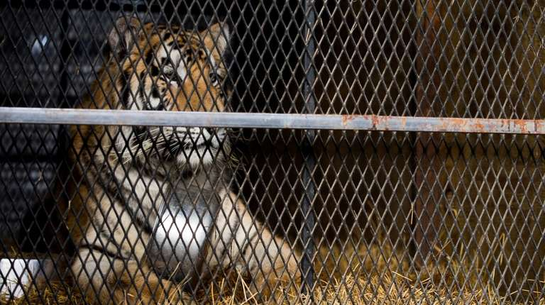 A view of the tiger that was found