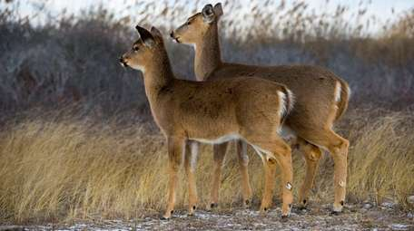White-tailed deer walk along Smith Point Beach Park