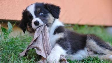 An Australian shepherd puppy chews a dirty rag