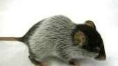 Crippled rodents walked again, but it's uncertain if
