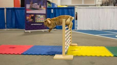 """""""Creamsicle,"""" a fawn-colored Holland Lop bunny, jumps a"""