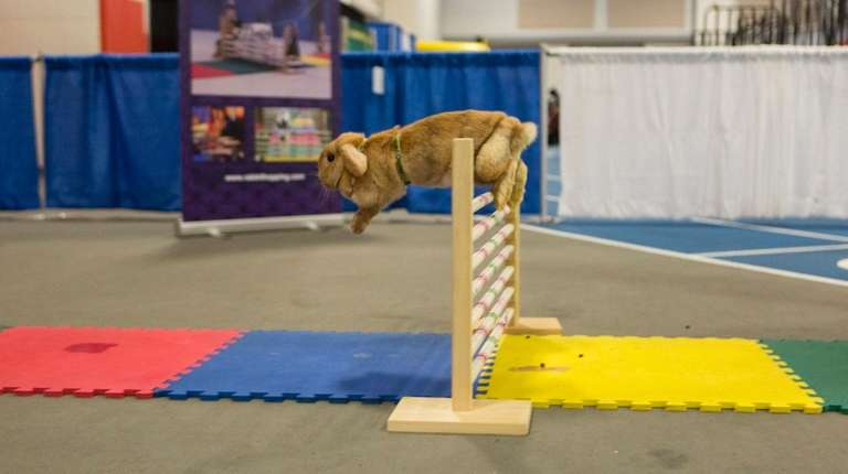 """Creamsicle,"" a fawn-colored Holland Lop bunny, jumps a"