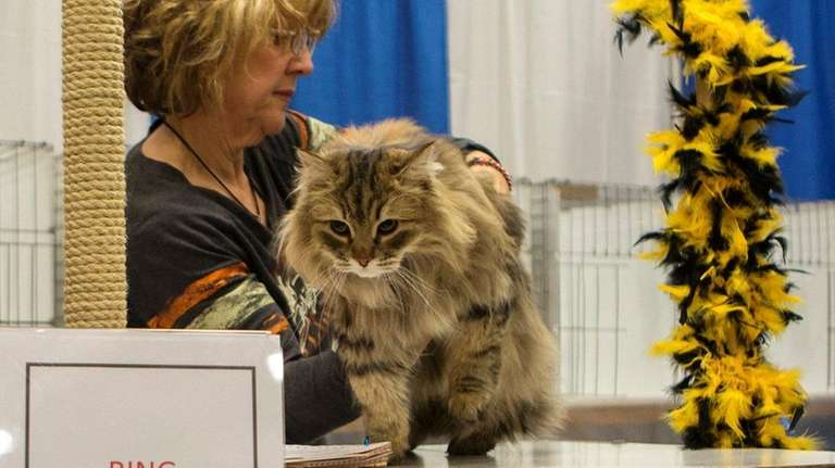 Judge Francine Hicks examines a Norwegian Forest Cat