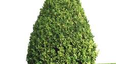 Shrubs should be shaped wider at their bottoms