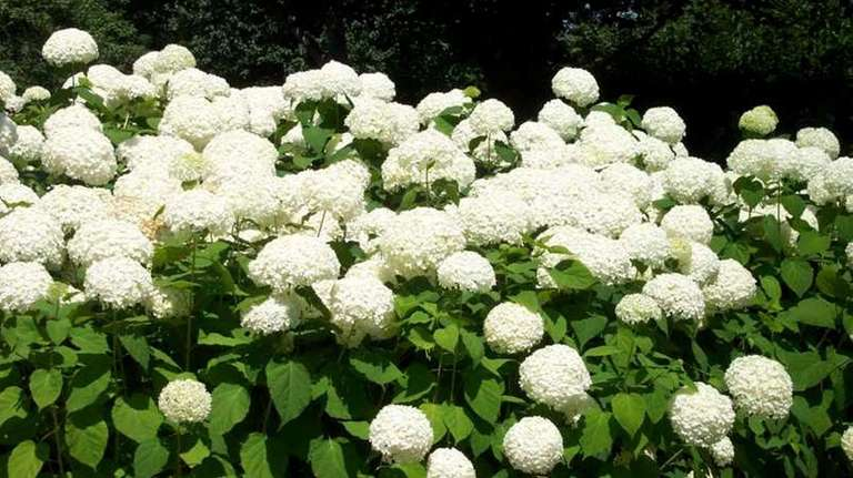 Hydrangea arborescens cut to the ground in late