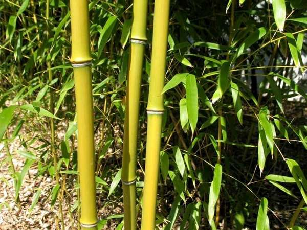 Bamboo, a fast-growing plant which originated in China,