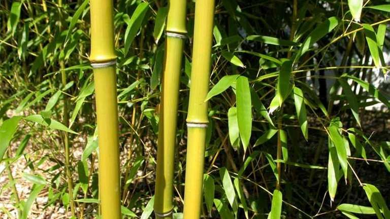 Bamboo, a fast-growing invasive plant that originated in