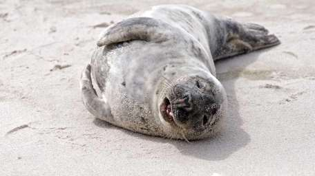 An injured juvenile male gray seal was seen