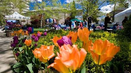 Tulips bloom amid vendor tents at the Hofstra