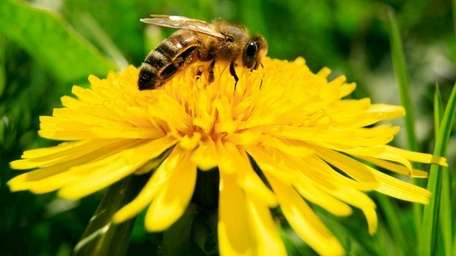 A bee collects nectar from blossoming dandelions in