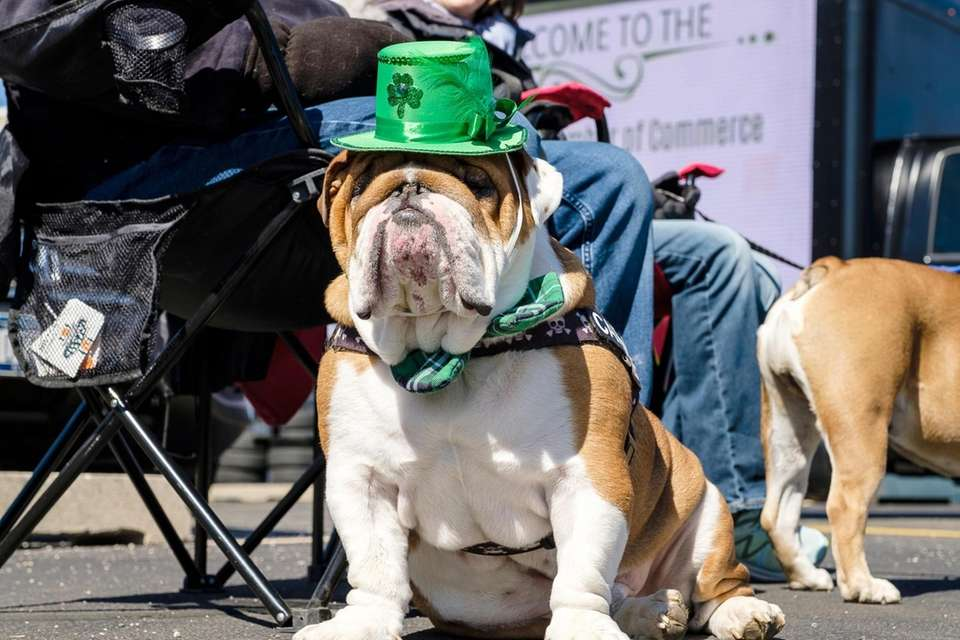 Carmine, a 3-year-old English Bulldog, is dressed up
