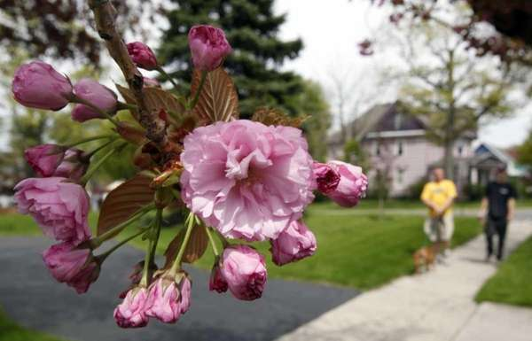 Flowers bloom on a tree in Akron, N.Y.