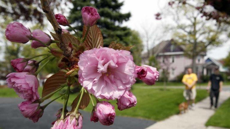 Flowers bloom on a tree in Akron, N.Y.