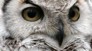A close up of a great horned owl