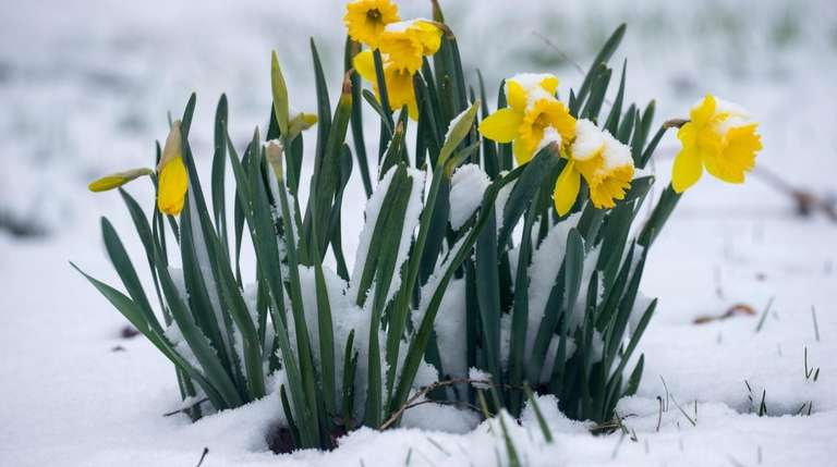 Early-season daffodils are cold-hardy, often blossoming in snow.