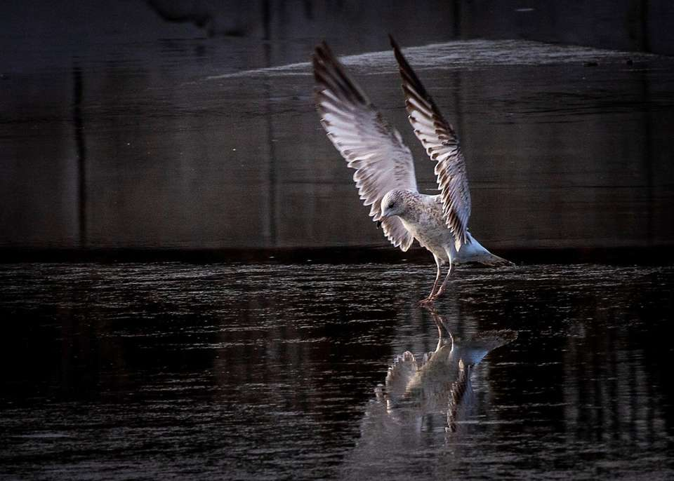 A seagull landing in the icy pond at