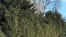 Leyland cypresses can be sheared to control their