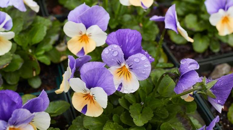 Violas are an early-season flower on the grounds