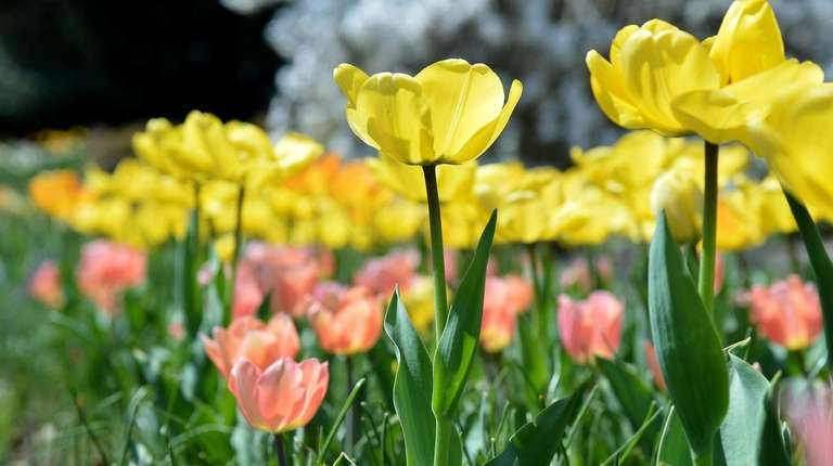 Tulips and other spring flowers at Clark Botanic