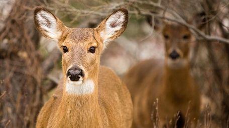 Deer on Fire Island in February.