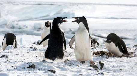 """Disneynature's """"Penguins"""" tells the story of an Adelie"""