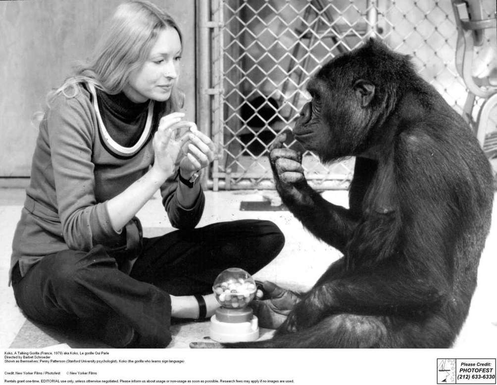 Koko the gorilla is famous for her comprehension