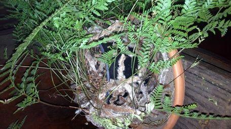 Fuzzy, above-soil rhizomes give Davallia ferns their common